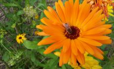Bee on a calendula flower