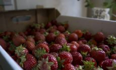 Box of Finnish strawberries