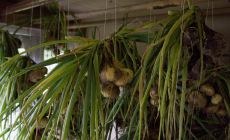 Onions hanging to dry