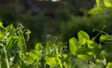 Green peas growing