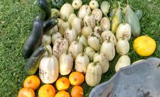 Harvest of different types of squashes