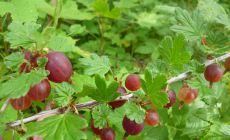 Huge red gooseberries