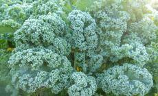 Frosty kale